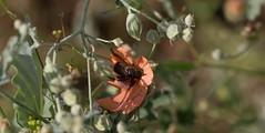 Love Me Do (harefoot1066) Tags: malvaceae sphaeralcea sphaeralcealaxa calicheglobemallow coleoptera polyphaga scarabaeoidea scarabaeidae scarabbeetle