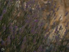lavender (:) vicky) Tags: lavender lavanda vickyepla vicky visionario castillalamancha flickrvicky flickr olympus olympusdigitalcamera olor jjtexture rustlordtexturaunique textures