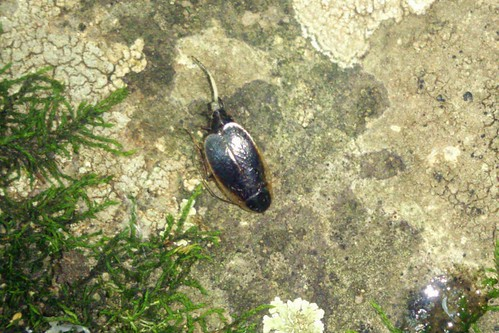 Blattellidae sp., Tsaghkadzor, 2014.08.20