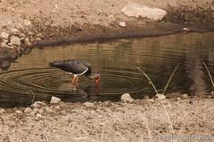 0237 Schwarzstorch - Black Stork (uwizisk) Tags: blackstork india indien ranthambhorenationalpark schwarzstorch ciconianigra vgel birds