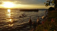 Plauer See (Nicola G. Fotografie) Tags: sonnenuntergang plauersee mecklenburgvorpommern see wasser natur schwne enten gewsser seenplatte water nature swan sundown sunset evening light samsung note4