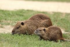 Famille ragondin au parc ornithologique du parc de Gau - nutria (frimoussec) Tags: famille ragondin parc ornithologique gau nutria