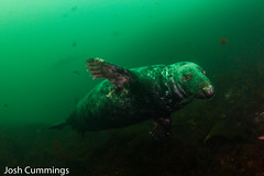 Grey Seals (Josh.Cummings) Tags: scuba scubadiving seal newengland newenglanduwphotographywater new hampshire rebreather revo ikelite 7d