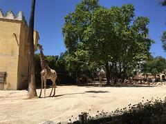 Girafe - Parc zoologique de lisbonne (stefff13) Tags: parc zoologique zoo lisbonne animaux animals portugal girafe