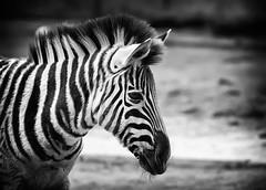 Zebra (michel1276) Tags: zebra fohlen sw bw tier zoo duisburg einfarbig deutschland