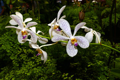 "photographed at ""orchids in the park"", Aranda Jairak White hybrid orchid 7-16 (nolehace) Tags: summer nolehace sanfrancisco fz1000 716 flower plant bloom aranda jairak white hybrid orchid"