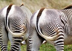 Zebras (billd_48) Tags: ohio summer animals captive thewilds zebra cumberland oh usa