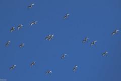 (Siminis) Tags: siminis heraklio crete greece egrets herons egrettagarzetta flying inflight blue sky