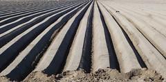 (Marga van Hulzen) Tags: field seedbeds oistercatcher scholekster uithuizermeeden groningen nederland