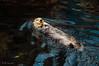 Lontra 1 - Oceanario Lisbona (antoniosimula) Tags: oceanario lisbon lisbona lisboa portogallo portugal area expo fish flora fauna nikon d3200 35mm 70300 tamaron ocean species pacific atlantic indian