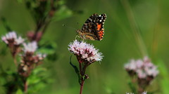 Painted Lady (Cal Killikelly) Tags: butterfly painted lady rspb migrant spain uk cythnia vanessa australia world