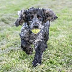 Brown Eyes (Anthony de Schoolmeester) Tags: dog cockerspaniel spaniel blueroan blackandwhite llanelli fujixt2 fujinonxf1655f28 stan runningdog run ball
