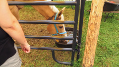 porter county fair. july 2015 (timp37) Tags: horse nat nathalie porter county fair indiana july 2015 summer