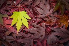 Autumn's Coming (Fifescoob) Tags: autumn fall colour color leaves acer maple scotland nature canon eos 6d macro