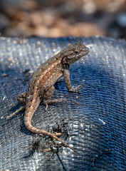Fence Lizard (Young) (Stephen R. D. Thompson) Tags: lizards locations reptiles rocklinhome stcphotography stephenthompson fencelizardsceloporusoccidentalisbocourtii attributes immature nature california baby young