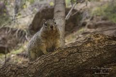 Rock Squirrel - Zion National Park - Utah (Freshairphotography) Tags: rocksquirrel squirrel wildanimal mammal zionnationalpark nature wildlife animal forest park nationalpark utah