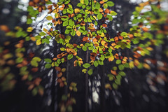 * (sedregh (on/off)) Tags: lensbaby sweet50 lensbabysweet50 bltter herbst fall autumn eifel buche beech leaves