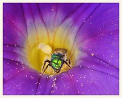 Sweat Bee and Morning Glory (gauchocat) Tags: tohonochulpark tucsonarizona