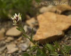 """Indian Paintbrush • <a style=""""font-size:0.8em;"""" href=""""http://www.flickr.com/photos/63501323@N07/7890556604/"""" target=""""_blank"""">View on Flickr</a>"""