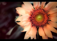 Season's Greetings :) (Shutterfreak ) Tags: flower film nature colors daylight petals shadows bokeh textures sunflower dhaka bangladesh 35mmf18g inkiad