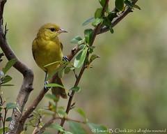 Orchard Oriole (female) (HowardCheekPhotography.com) Tags: female orchard songbirds oriole photocontesttnc12