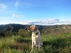 7915340880 802c5ccf7f m Hercules, Photos of my fun Yellow Labrador