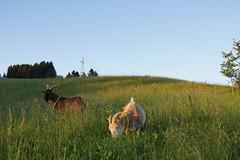Natur pur (Landhotel Spreitzhofer) Tags: st tiere österreich urlaub natur alm ferien steiermark pension wellness gasthof kathrein landhotel reiturlaub almenland spreitzhofer kinderurlaub