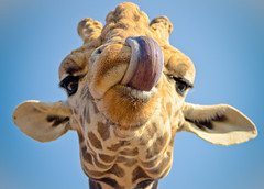 tongue picking (megscapturedtreasures) Tags: goofy animal tongue out mammal funny head giraffe sticking