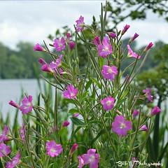 Wildflower In Purple  Explore # 183 (Bob.W) Tags: wildflower thegalaxy mygearandme