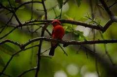 Pyrocephalus rubinus (ArangoLaura) Tags: red naturaleza bird primavera nature birds rojo birding aves colores ave birdwatching pájaro pajarito pyrocephalus rubinus ornitología pajareando