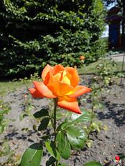 Roses - Unidentified - Rosaceae SC20120826 289 (fotoproze) Tags: roses canada rose quebec montreal rosen gl rosas rozen 2012 roser    rosor mawar jardinbotaniquedemontral rsir re re  montrealbotanicalgardens trandafiri arrosak ruusut hoahng       rue    rzsk queenrose vrtnice ris  rhosynnau