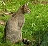 European Wild Cat (joeke pieters) Tags: germany deutschland zoo wildcat tierpark duitsland dierentuin wildlifepark anholt wildekat anholterschweiz 1000802 biotopwildpark panasonicdmcfz150