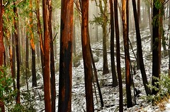 Forest light (phunnyfotos) Tags: morning trees light sunlight snow forest sunrise spring nikon australia victoria gums alpine vic eucalypts alpinenationalpark bogong northeastvictoria kiewavalley d5100 nikond5100 phunnyfotos