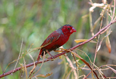 Crimson finch (R. Francis) Tags: crimson hill lawn finch qld phaeton neochmia lawnhill crimsonfinch neochmiaphaeton