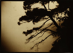 Pine cliff (NooFZz) Tags: bw tree landscape 9x12 photographicpaper aplanat paperpositive bulldog4x5