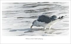 Where is that %&# bath-plug (- - Anne - -) Tags: gull meeuw branding kust domburg
