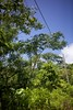IMG_2001 (S&PF, USFS Pacific Southwest Region) Tags: mapping fia 2012 pacificisland americansamoa invasivespecies usfs tutuila fhp redbeadtree adenantherapavonina pacificsouthwestregion byleozliu foresthealthprotection