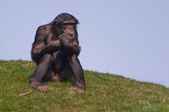 der denker (michaellux70) Tags: blue sky green zoo sitting chimp thinker muse human thinking ape gras chimpanzee ponder behavior der gelsenkirchen apes affen affe denker sitzen schimpanse cogitation verhalten grbeln menschliches