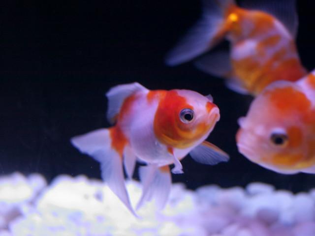 金魚の餌のおすすめ10選・種類・選び方・口コミ