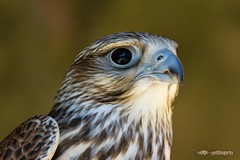 Sakerfalke Portrait / Saker Falcon (burnett0305 - Thanks for over 175.000 views!) Tags: bird birds canon bayern bavaria 7d vgel vogel falken saker greifvgel falconiformes falconidae riedenburg sakerfalcon falcocherrug thegalaxy ausrstung canonef100400mmf4556lisusm sakerfalke canoneos7d landkreiskelheim canon7d wrgfalke falkenhofschlossrosenburg falkenartige mygearandme mygearandmepremium mygearandmebronze mygearandmesilver mygearandmegold mygearandmeplatinum mygearandmediamond rememberthatmomentlevel4 rememberthatmomentlevel1 rememberthatmomentlevel2 rememberthatmomentlevel3 rememberthatmomentlevel7 rememberthatmomentlevel9 rememberthatmomentlevel5 rememberthatmomentlevel6 rememberthatmomentlevel8 rememberthatmomentlevel10