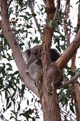 Mother and baby Koala (Seaside-Mike) Tags: trees wild baby holiday tree nature animals youth rural pentax native candid mother fluffy australia koala adelaide southaustralia determination koalatree sea2side mikestobaphotography