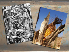 Corny (Annie in Beziers) Tags: france texture field photoshop corn cornfield diptych farming harvest bluesky september mais crop oil layers growing ripe cornonthecob bwcolour annieinbziers monocouleur