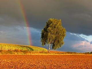 The rainbow birch