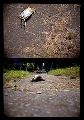 Agat 18K (Daniel Cane) Tags: road street colour bird film feet grass birds animal animals fauna 35mm dead death wings legs westsussex pavement wildlife wing beak feathers 200iso iso negative 35mmfilm 200 frame half vista plus analogue halfframe corpse agfa unfortunate agat18k decomposed filmstrip verge deceased 18k colournegative agat belomo decomposing c41 agfaphoto belomoagat18k agfaphotovistaplus workandcommute agat18kmultiples