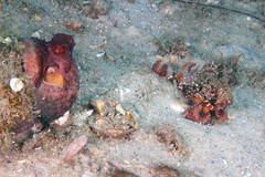 IMG_1773wa little guys (mentalblock_DMD) Tags: nature scuba singerisland underwaterphotography rivierabeach shorediving bhb blueheronbridge lakeworthlagoon philfosterpark commonoctopusoctopusvulgaris jerrywilliamsmemorialbridge kevinbryantmentalblockkevin mushroomscorpionfishscorpaenainermis plumedscorpionfishscorpaenagrandicornisjuvenile