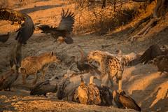 Hyenas Feeding - South Luangwa - Zambia (virtualwayfarer) Tags: africa travel sunset nature nationalpark african wildlife south safari wildanimal vulture hyena zambia travelphotography luangwa hyenafeeding alexberger vulturefight virtualwayfarer hippokill