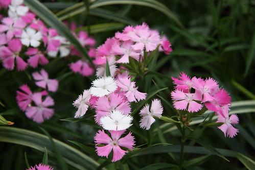 かわいいナデシコ花