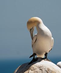 Seabirds (Jenny dot com) Tags: ireland summer nature shag wexford gannets seabirds greatblackbackedgull salteeislands natureplus