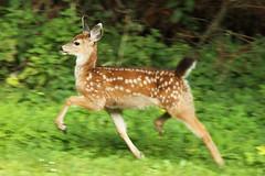 Black-tailed Deer Fawn (Odocoileus hemionus columbianus) (Jared Hughey) Tags: california wild house nature animal yard wildlife young deer fawn northern arcata humboldtcounty blacktaileddeer sunnybrae odocoileushemionuscolumbianus