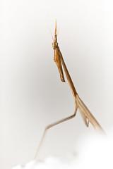 Stick Bug Posing (Mara T Pons) Tags: macro bug pose insect stickinsect stickbug verano2012